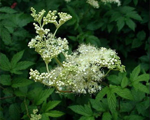 Meadowsweet Lady of the meadow